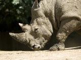White Rhino Sniffs the Dust at the Henry Doorly Zoo, Nebraska Photographic Print by Joel Sartore