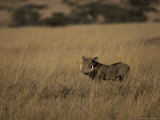 Warthog Portrait on Savannah Grassland with Large Tusks and Ears Alert, Serengetti, Tanzania Photographic Print by Jason Edwards