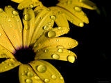 Water Drops on an Osteospermum Hybrid, Groton, Connecticut Photographic Print by Todd Gipstein