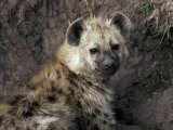 Young Spotted Hyena Pup Rests in the Shade of a River Bank Photographic Print by Jason Edwards