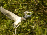 Tricolored Heron About Taking Flight, Tampa Bay, Florida Photographic Print by Tim Laman