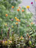 Wild Orchids Fotografisk tryk af David Evans