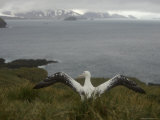 Wandering Albatross About to Fly Photographic Print by Ralph Lee Hopkins