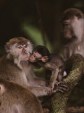 Young Long-Tailed Macaque Nuzzles its Mother, Borneo Photographic Print by Mattias Klum