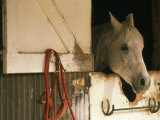 White Horse Sticks his Head Out of his Stall Photographic Print by Kate Thompson