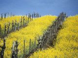 Flowering Charlock in Carneros Region, Napa Valley, Calif. Photographic Print by Hendrik Holler