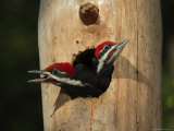 Young Pileatd Woodpeckers in the Nest Await Breakfast Photographic Print by George Grall