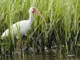 White Ibis Portrait, Tampa Bay, Florida Photographie par Tim Laman