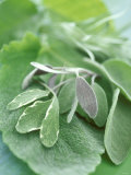 Various Sage Leaves Photographic Print