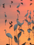 Wading Birds Forage in Colorful Sunset Water, Bombay Hook, Delaware Photographic Print by George Grall