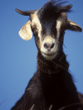 A Single Goat Photographic Print