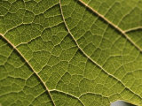Vine Leaf Photographic Print by Martin Skultety