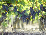 Cabernet Sauvignon Grapes Photographic Print by Joerg Lehmann