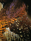 A Pheasant with Colourful Feathers Photographic Print by Nicolas Leser