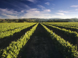 Wine Country, Brancott Estate, Marlborough, N. Zealand Photographic Print by Hendrik Holler