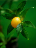 A Lemon on the Branch Photographic Print by Richard Sprang
