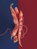 Three Borlotti Beans Tied Together with String Photographic Print by Luzia Ellert