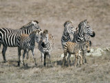 Zebras on the Hearst Castle Property, California Photographic Print by Rich Reid