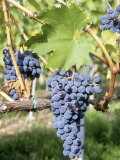 Nebbiolo Grapes, Tuscany, Italy Photographic Print by Armin Faber