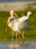 White Ibises Preening in Mangrove Shallows, Tampa Bay, Florida Papier Photo par Tim Laman