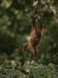 Young Orangutan Swinging from a Tree Branch Fotografisk tryk af Mattias Klum