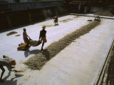Workers Lay Gingerroot in the Hot Sun to Dry in Cochin, India Photographic Print by James L. Stanfield