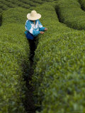 Woman Wearing Straw Hat Harvesting Tea Leaves in Shennongjia, China Fotografisk tryk af David Evans