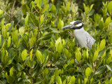 Yellow-Crowned Night Heron in a Mangrove Tree, Tampa Bay, Florida Photographic Print by Tim Laman