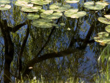 Weeping Willow Tree Reflected in a Water-Lily Pond, Groton, Connecticut Photographic Print by Todd Gipstein