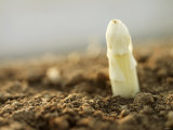 A White Asparagus Tip Photographic Print by Jost Hiller