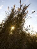 Wetland Tall Grasses Filter Evening Light on the Chesapeake Bay Photographic Print by Stephen St. John