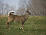 Wild Buck on the Run Photographic Print by Stephen St. John