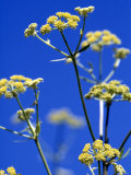 Lovage Against Blue Sky Photographic Print by Simone Metz