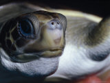 Vulnerable Flatback Sea Turtle Held in its Keepers Hands, Australia Photographic Print by Jason Edwards