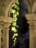 Vine Tendrils on Old Pillars, Chateau Valmagne, Languedoc Photographic Print by Joerg Lehmann