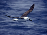 Yellow Nosed Albatross in Flight Gliding over the Ocean Surface, Australia Photographic Print by Jason Edwards