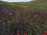 Wildflowers Bloom in a Field near the Ziz River, Ziz River Valley, Morocco Fotografisk tryk af James L. Stanfield
