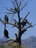 Vultures Sit in a Dead Tree, Baja, Mexico Photographic Print by Bill Hatcher