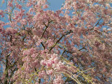 Weeping Cherry Tree in Bloom, Groton, Connecticut Photographic Print by Todd Gipstein