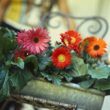 Gutter Planted with Gerberas Photographic Print