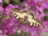 Butterfly in Phlox Flower Photographic Print by Roland Krieg