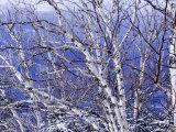 White Birch Trees Photographic Print by Tim Laman