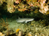Whitetip Reef Shark in Cavern, Malapascua Island, Philippines Photographic Print by Tim Laman