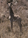 Young Giraffe Calf with its Dry Umbilical Cord from Birth Attached Photographic Print by Jason Edwards