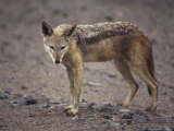 Wary Black-Backed Jackal on a Remote and Barren Coastal Plain Photographic Print by Jason Edwards