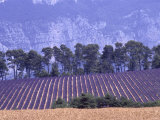 Lavender Fields in Provence Photographic Print by Martina Meuth