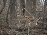 Wild Buck Anxiously Paws the Ground in Warning Photographie par Stephen St. John
