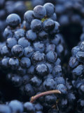 Cabernet-Sauvignon Grapes from Pomerol, France Photographic Print by Joerg Lehmann
