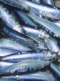 Freshly Caught Sardines (Brittany, France) Photographic Print by Joerg Lehmann