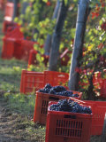 Grape Picking in Renato Ratti Vineyard, Piedmont, Italy Photographic Print by Armin Faber